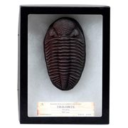 Trilobite in Case Premium Series Fossil Replica